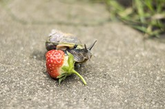 Friend (HattyGlaird) Tags: friend friends happy cute kawaii snail creature animal animals bug insect green red fruit strawberry summer nikon 50mm f18 afs shell shells grey scotland
