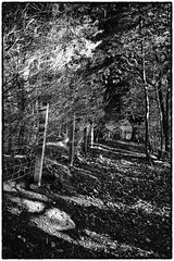light in the forest (billdsym) Tags: annan scotland woods forest trees light sunlight shadows bw mono