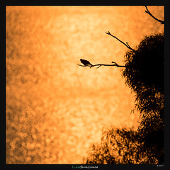 Golden Pigeon (Ilan Shacham) Tags: kinneret israel gold water bird pigeon sparkle reflection sun sunrise fineart fineartphotography minimalism tree seaofgalilee silhouette