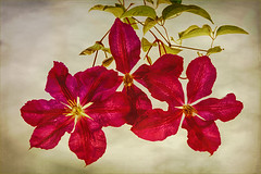 Columbine (Marcia Fasy) Tags: 2014 clematis flowers blooms blossoms flower nature plants purple