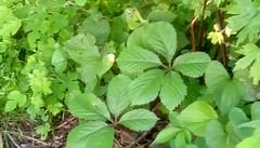 Green leaves! (Maenette1) Tags: green leaves weeds lawn yard menominee uppermichigan flicker365