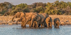 Synchronised Wading (gecko47) Tags: animals mammals elephants africanelephants loxodontaafricana herbivore worldslargestlandanimal waterhole group herd clan drinking bathing namibia etoshanationalpark trunksout