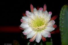 Cereus Peruvianus h 04.47 (Paolo Bonassin) Tags: cactaceae cactacee cactus succulente cereus cereusperuvianus flowers