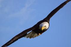 Conowingo (jgaosb) Tags: conowingo bald eagle cormorant fishing