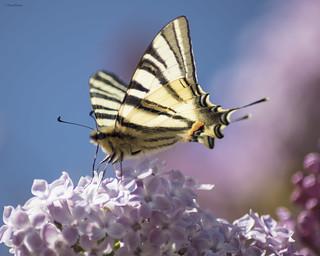 Papillon et lilas