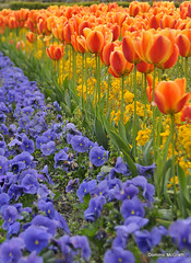 Blue and Orange. (mcgrath.dominic) Tags: pansies tulips powerscourt cowicklow