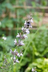 176/365 bumblebee and sage flowers