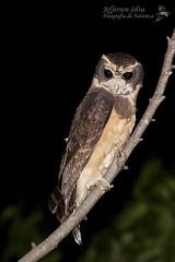 murucututu-de-barriga-amarela / Pulsatrix koeniswaldiana-Dourado-17-03-12 (Jefferson Silva) Tags: wildlife wildlifephotography birds brazilianbirds birdphotography owl owls coruja corujas aves pássaros