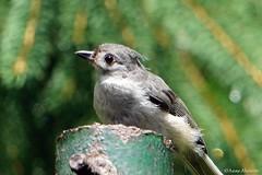 Tufted Titmouse (Anne Ahearne) Tags: titmouse tuftedtitmouse bird birds nature wildlife cute animal animals gray grey