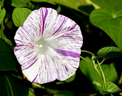 Striped and speckled morning glory (mariposa lily) Tags: morningglory morningglories flower flowers bloom blooms blossom blossoms garden gardening striped stripes nikon nikond3300 d3300 pinkflower pinkflowers