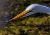 Silent Stalker (Wes Iversen) Tags: ardeaalba greategrets michigan shiawasseenationalwildliferefuge tamron150600mm birds hunting water waterbirds waterfowl wildlife coth5 sunrays5
