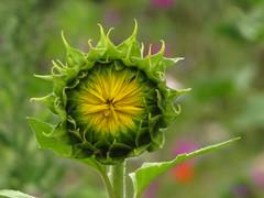 IMG_9209 (germancute) Tags: wildflower nature outdoor blume flower summer sommer wiese