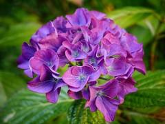 In Bloom (georgekells) Tags: hydrangea flower bloom purple colour backgarden sunnyday northernirelandsummer belfast countyantrim