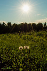 Just Dandy (cowgirljo78) Tags: dandelions sunset sunburst sun clouds sky grassland field roadside light golden green wisconsin summer summertime