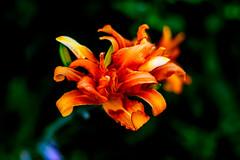 Orange Daylily : ノカンゾウ(野萱草) (Dakiny) Tags: 2017 summer july japan kanagawa yokohama aoba ichigao outdoor nature field park plant flower flora macro bokeh nikon d750 nikkor 50mm f18 afsnikkor50mmf18g nikonafsnikkor50mmf18g nikonclubit