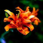 Orange Daylily : ノカンゾウ(野萱草) thumbnail