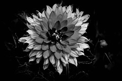 Black Dahlia (awdylanis) Tags: flower flowers dahlia black white garden center macro bloom florida fl tampa gardencenter