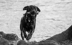 I got it! (bharathputtur122) Tags: dog pooch fetch water fast happy play playful black lake stick waterscape escape drip action pet