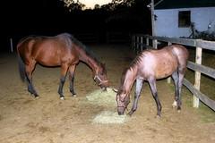 2016-10-16 (50) Cross Mountain and her filly (JLeeFleenor) Tags: photos photography md maryland croom family horse equine mare filly twilight outdoors outside paddock farm horses thoroughbreds equestrian cheval cavalo cavallo cavall caballo pferd paard perd hevonen hest hestur cal kon konj beygir capall ceffyl cuddy yarraman faras alogo soos kuda uma pfeerd koin حصان кон 马 häst άλογο סוס घोड़ा 馬 koń лошадь
