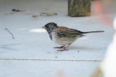 Dark-eyed Junco Female (halladaybill) Tags: backyard coronadelmar darkeyedjunco