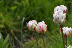Polish tulips (petrOlly) Tags: poland polska polen pomorze europe europa gdynia tricity trójmiasto flower flowers nature natura przyroda