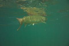 Iwana DSC_3755 (touhenboku) Tags: iwana char イワナ fly fishing flyfishing rock stream headwater fall