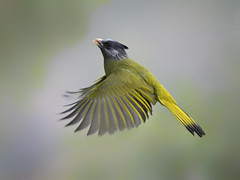 Crested Finchbill _ 百花嶺-06 ☺☺ (mahi mahi 163) Tags: finchbill bulbul 600mm china
