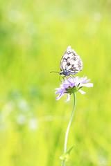Demi-deuil (Mariie76) Tags: animaux nature verdure coteaux calcaires demideuil lépidoptère papillon noir blanc fleur butinage melanargia galathea macro macrophotographie knautia