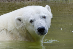 A look that will melt your heart (ucumari photography) Tags: ucumariphotography anana polarbear ursusmaritimus oso bear animal mammal nc north carolina zoo osopolar ourspolaire oursblanc eisbär ísbjörn orsopolare полярныймедведь july 2017 dsc0047 specanimal