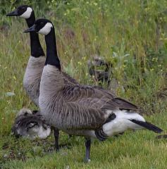 Canadian Geese In Hamilton, Montana (deanolind) Tags: elements bird geese canada montana hamilton gray black white