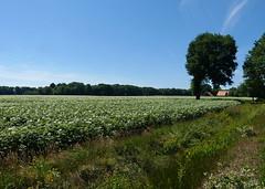 Potato field (joeke pieters) Tags: 1350212 panasonicdmcfz150 aardappelakker akker field potatofield henxel winterswijk achterhoek gelderland nederland netherlands holland landschap landscape landschaft paysage landelijk rural