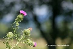 amoureux (eric4tin) Tags: flowers fleurs amoureux chardons thistle
