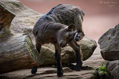Zwergziege (ab-planepictures) Tags: ziege zwergziege tier animal zoo gelesenkirchen