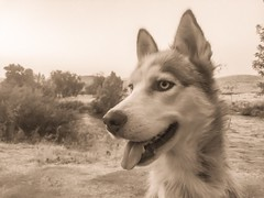 Scarlet (Cruzin Canines Photography) Tags: iphone6plus closeup daylight outside pets pretty nature husky naturallight animal huskies domesticanimal sepia domestic cute outdoors bakersfield mammal portrait siberianhusky monochrom blackandwhite alaskan canine iphone dogs pet kerncounty hartpark california dog animals