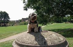 Flo Yorkie Poo at Cutts Close Oakham Rutland (@oakhamuk) Tags: flo yorkiepoo cuttsclose oakham rutland