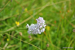 Common Spotted Orchid. (mcgrath.dominic) Tags: commonspottedorchid orchid wildflowers theburren coclare