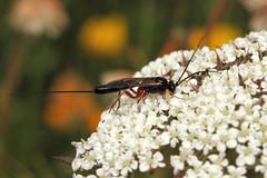 Ichneumon sp. ♀ (Wasp) - Guernsey (Nick Dean1) Tags: hymenoptera wasp sawfly bee bumblebee animalia arthropoda arthropod hexapoda insect insecta macro canon canon7d guernsey channelislands greatbritain