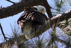 american bald eagle (im2fast4u2c) Tags: american bald eagle