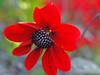 Ich wünsche Euch einen wunderschönen und entspannten Sonntag (magritknapp) Tags: königlichegartenakademieberlin roteblume bokeh redflower « fleur rouge » florroja florvermelha fiorerosso