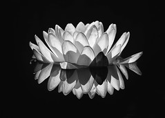 Water Lily (mclcbooks) Tags: flower flowers floral macro closeup waterlily waterlilies pond reflections dark black denverbotanicgardens colorado summer blackandwhite bw monochrome