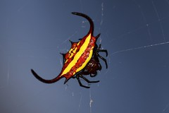 Gasteracantha sp. (mgrimm82) Tags: tanzania africa spiders spinnen spinne july 2017 taxonomy:kingdom=animalia animalia taxonomy:phylum=arthropoda arthropoda taxonomy:subphylum=chelicerata chelicerata taxonomy:class=arachnida arachnida taxonomy:order=araneae araneae taxonomy:suborder=araneomorphae araneomorphae taxonomy:infraorder=entelegynae entelegynae taxonomy:superfamily=araneoidea araneoidea taxonomy:family=araneidae araneidae taxonomy:genus=gasteracantha gasteracantha arañastejedorasespinosas spinyorbweavers coíizcheel 棘蛛屬 pnaacojanocoíiz taxonomy:common=arañastejedorasespinosas taxonomy:common=spinyorbweavers taxonomy:common=coíizcheel taxonomy:common=棘蛛屬 taxonomy:common=pnaacojanocoíiz