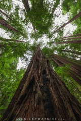 Muir Woods (Mike Ver Sprill - Milky Way Mike) Tags: muir woods green red wood forest trees tree looking up look nature landscape california beautiful tall large evergreen mike ver sprill michael versprill nikon d800 hiking hike park