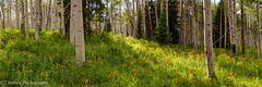 A Summer Afternoon at 9,000 Feet (2,743 Meters) (OJeffrey Photography) Tags: colorado co keblerpass crestedbutte wildflowers panorama pano aspentrees sprucetrees coloradospruce aspen backeyedsusan ojeffreyphotography ojeffrey nikon d800 coloradorockies rockymountains