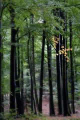 (Px4u by Team Cu29) Tags: wald baum laub herbst verfärbung gelb buche