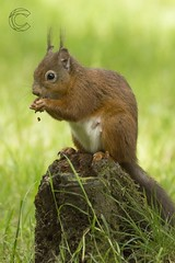 Eskrigg 14-07-2017 (CallumLaird) Tags: lockerbie scotland unitedkingdom gb squirrels sony a77 70400 g camera slt lens nature green trees nuts eskrigg