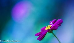 Hello ... (frederic.gombert) Tags: flower flowers light sun sunlight color colors colorful blue pink red yellow plant cosmos macro