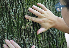 A Cool Discovery (MTSOfan) Tags: moth tree hands insect camouflage pandorasphinx