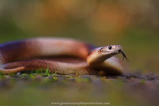 portrait: Speckled Brown Snake