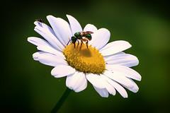 pollinate (david_sharo) Tags: nature wildlife moraine pennsylvania