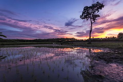 Rice Field Sunset (ulli_p) Tags: asia artofimages canoneoskissx5 colours earthasia flickraward isan light landscape nature ruralthailand ricefield southeastasia sky sunsets thailand